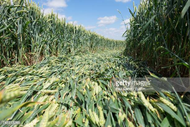 Close-Up Of Corn Field Against Sky