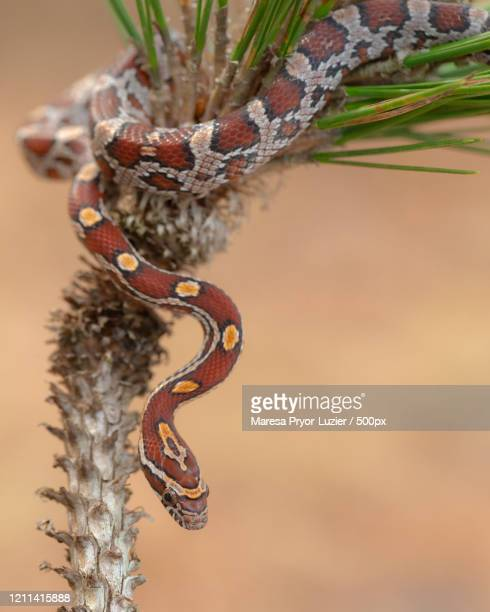 close-up of corn snake (pantherophis guttatus) wrapped around long-leaf pine - corn snake stock pictures, royalty-free photos & images