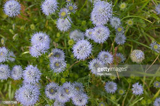 close-up of cornflowers (centaurea cyanus)  growing in the valley of the rocks, near lynton in exmoor national park, this pretty summer-flowering plant is an endangered species - lynton stock pictures, royalty-free photos & images