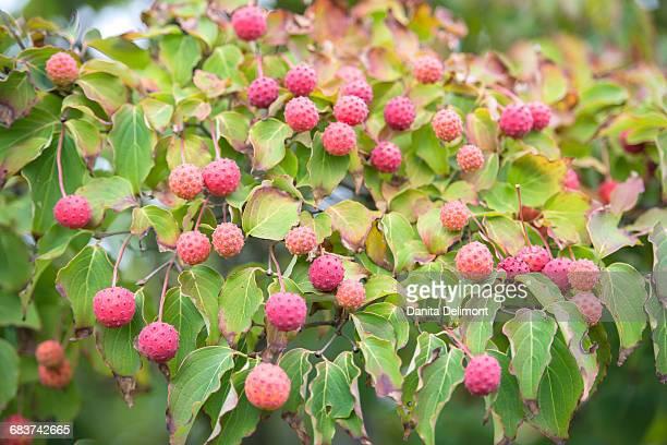 close-up of cornus kousa fruit, wareham, massachusetts, new england, usa - kousa dogwood stock pictures, royalty-free photos & images