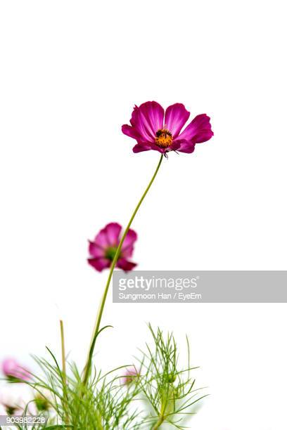 close-up of cosmos flower against white background - cosmos flower stock pictures, royalty-free photos & images