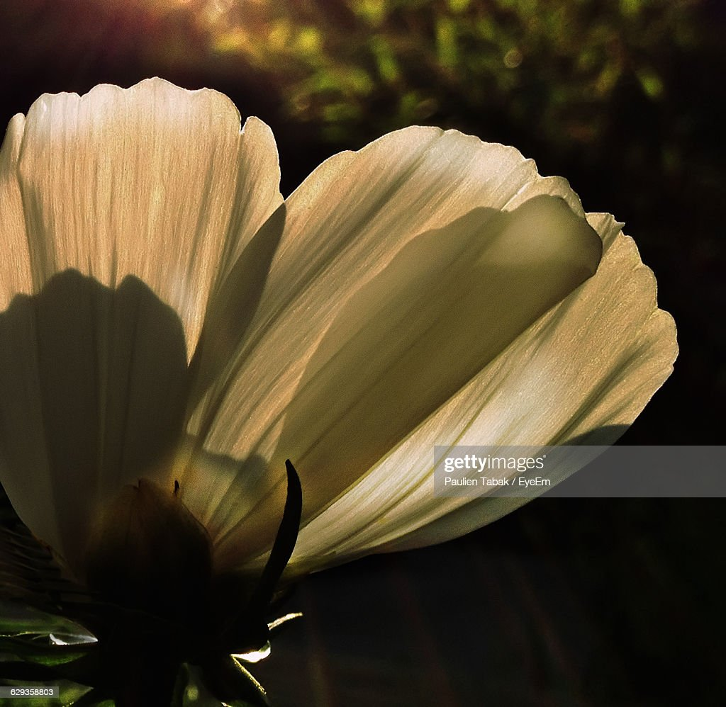 Close-Up Of Cosmos Flower Blooming Outdoors : Stockfoto