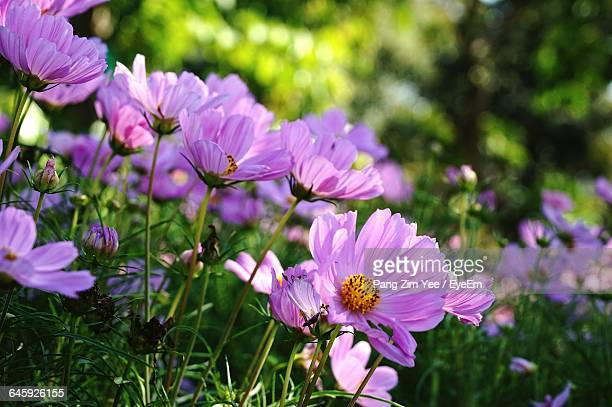 Close-Up Of Cosmos Flower