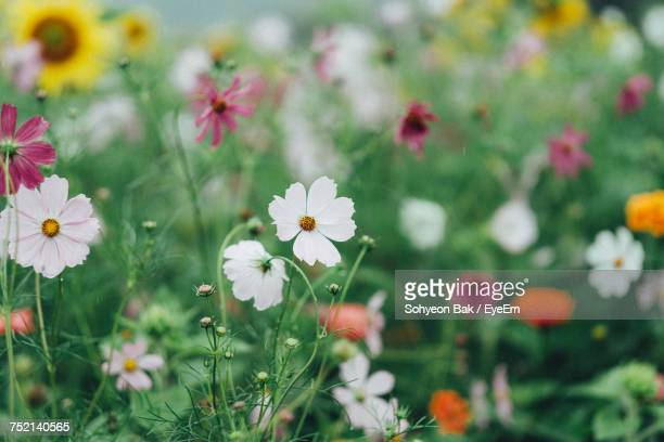 close-up of cosmos flowers blooming on field - flower part stock pictures, royalty-free photos & images
