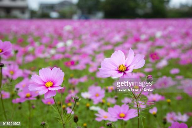 close-up of cosmos flowers blooming on field - cosmos flower stock photos and pictures