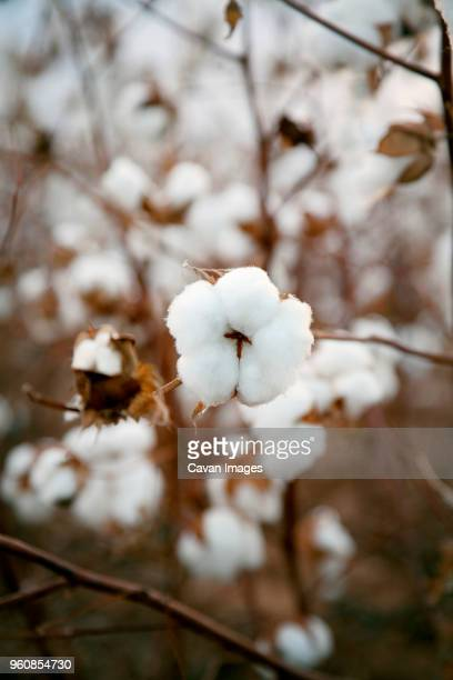 close-up of cotton plant - cotton stock pictures, royalty-free photos & images