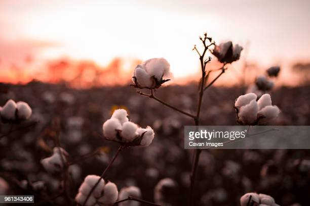 Close-up of cotton plants growing on field during sunset