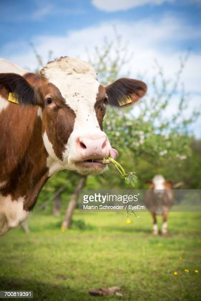 Close-Up Of Cow Against Sky
