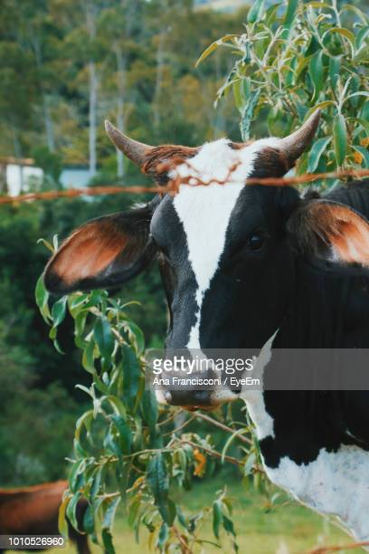 Close-Up Of Cow At Farm