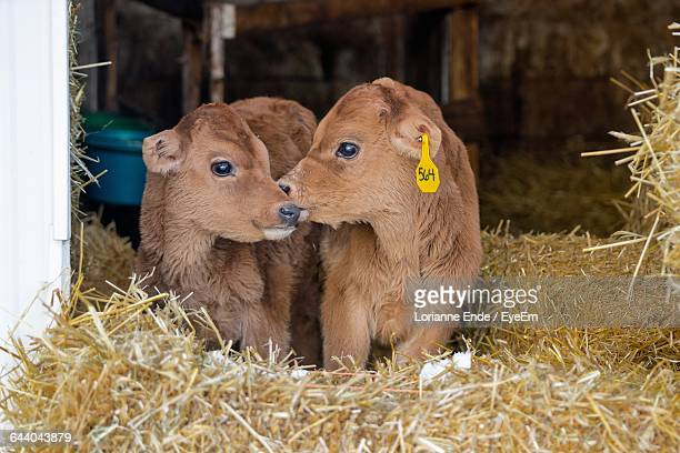 Close-Up Of Cow Calves In Barn