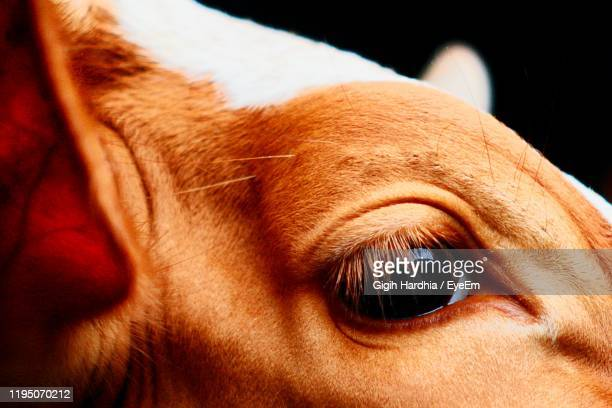 close-up of cow eye - cow eyes stock pictures, royalty-free photos & images