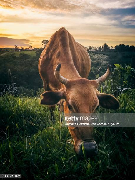 close-up of cow grazing on field against sky - 草を食む ストックフォトと画像
