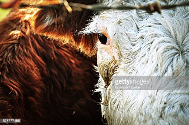 close-up of cow head - cow eyes stock pictures, royalty-free photos & images
