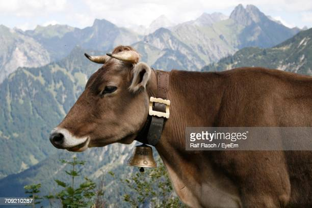 close-up of cow in mountains - bell stock pictures, royalty-free photos & images