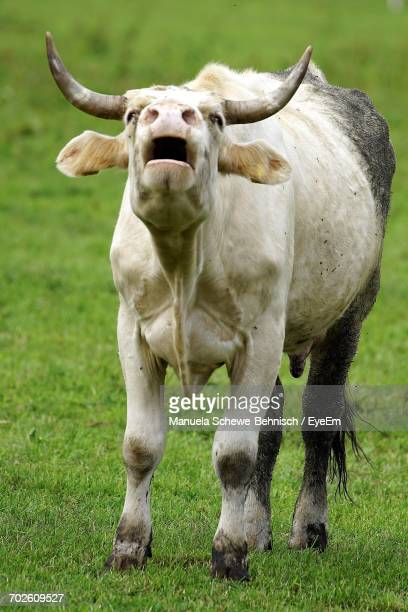 close-up of cow mooing on field - cow mooing stock pictures, royalty-free photos & images