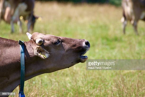 close-up of cow mooing on grassy field - cow mooing stock pictures, royalty-free photos & images