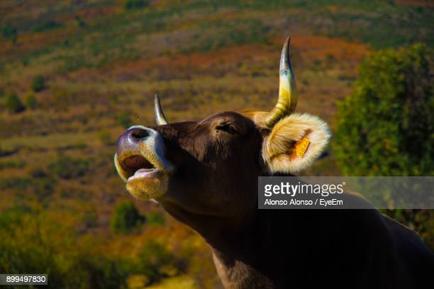 close-up of cow mooing - cow mooing stock pictures, royalty-free photos & images