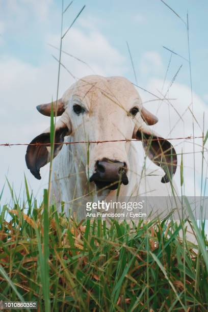 Close-Up Of Cow On Field Against Sky