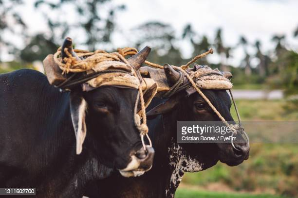 close-up of cow on field - bortes stock pictures, royalty-free photos & images