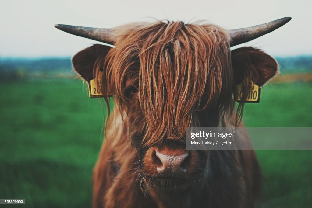 Close-Up Of Cow On Field : Stock Photo
