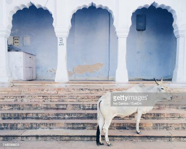 Close-Up Of Cow On Steps