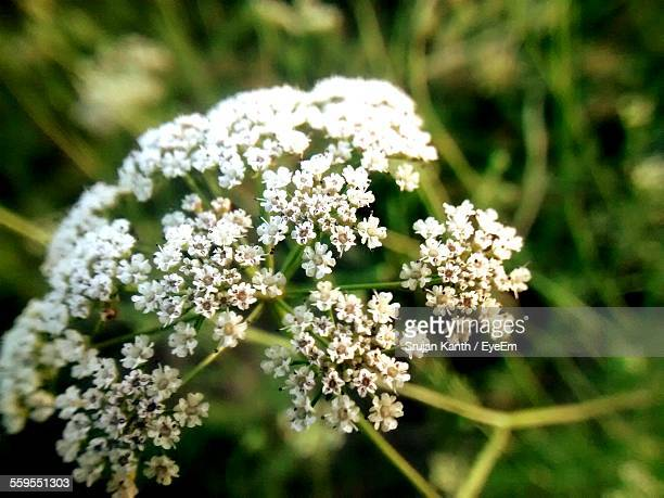 Close-Up Of Cow Parsley