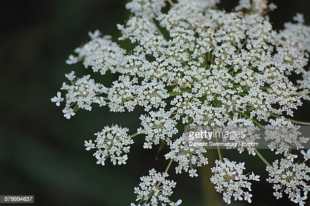 Close-Up Of Cow Parsnip Blooming On Ground