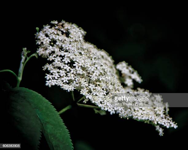 Close-Up Of Cow Parsnip Flowers Blooming Against Black Background