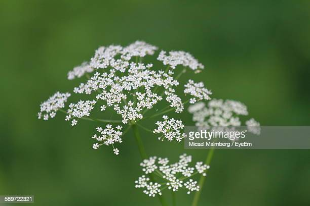 Close-Up Of Cow Parsnip Growing Outdoors