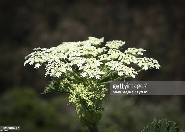 Close-Up Of Cow Parsnip Outdoors