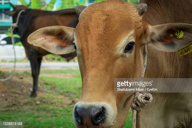 close-up of cow - shaifulzamri stock pictures, royalty-free photos & images