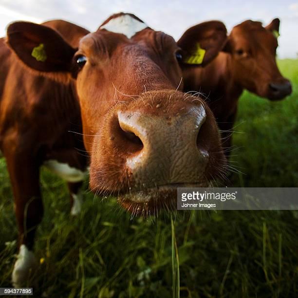 close-up of cow - västra götalands län stockfoto's en -beelden