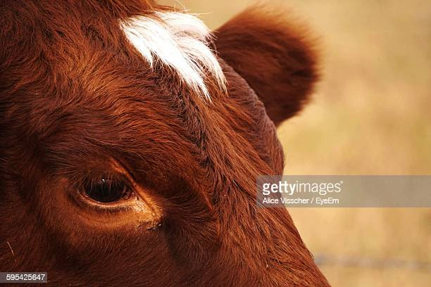 close-up of cow - cow eyes stock pictures, royalty-free photos & images