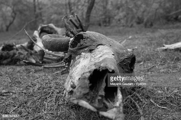 Close-Up Of Cow Skeleton On Field