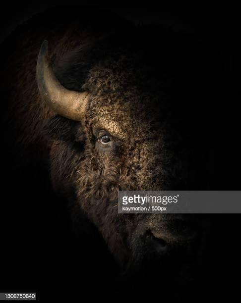 close-up of cow standing against black background,germany - toro animal fotografías e imágenes de stock