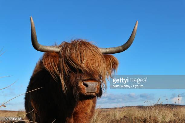 close-up of cow standing on field against clear sky - wild cattle stock pictures, royalty-free photos & images