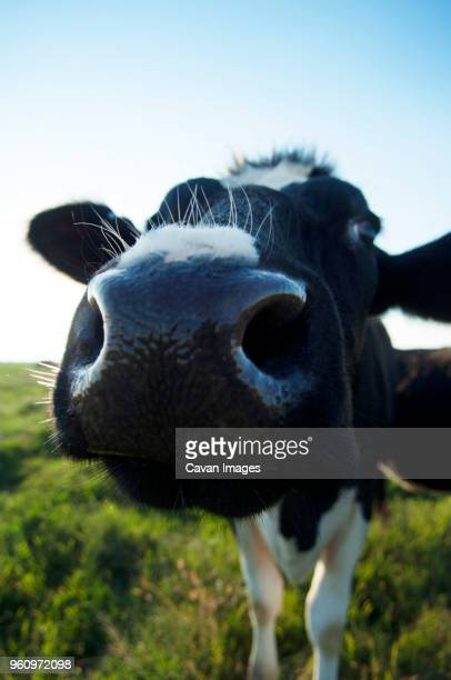 close-up of cow standing on field against sky - 突き出た鼻 ストックフォトと画像