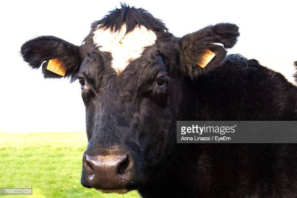 Close-Up Of Cow Standing On Field