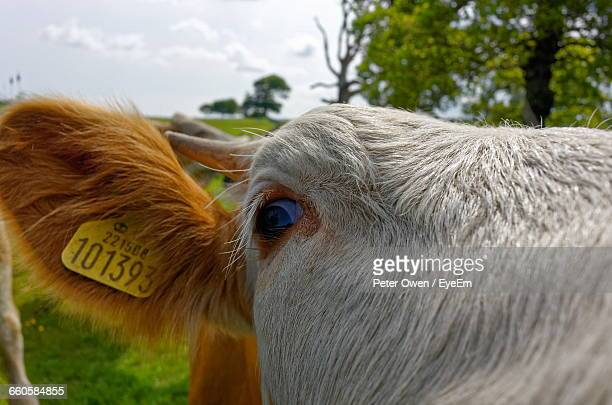Close-Up Of Cow With Ear Tag