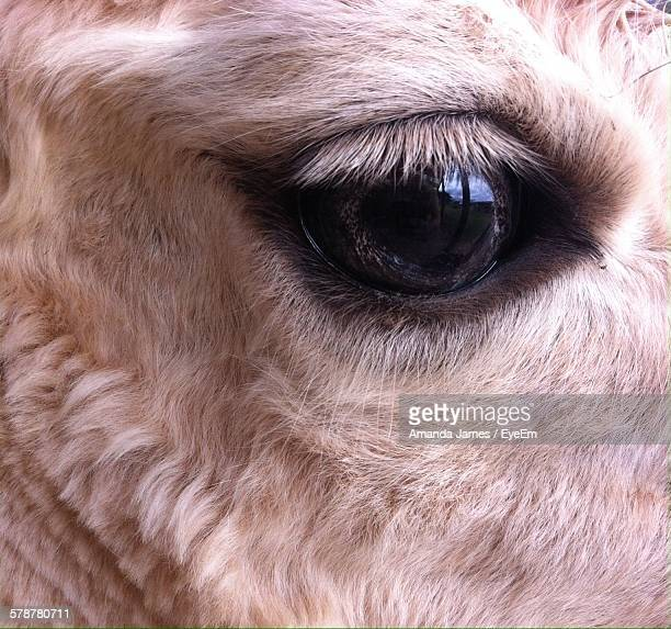 close-up of cows eye - animal eye stock pictures, royalty-free photos & images