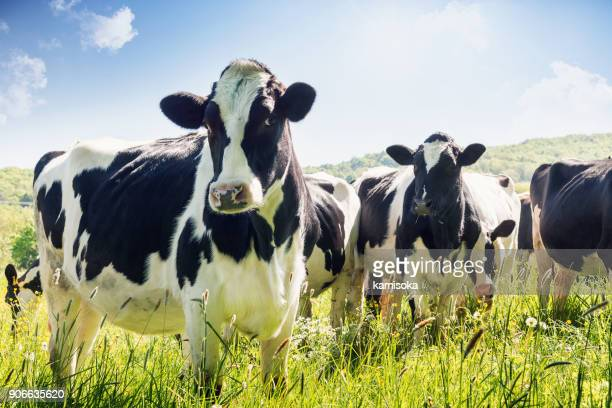 close-up of cows in summer - herbivorous stock pictures, royalty-free photos & images