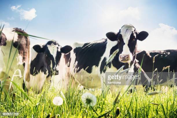 close-up van koeien in de zomer - koe stockfoto's en -beelden