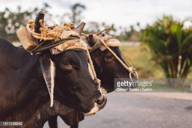 close-up of cows - bortes stock pictures, royalty-free photos & images