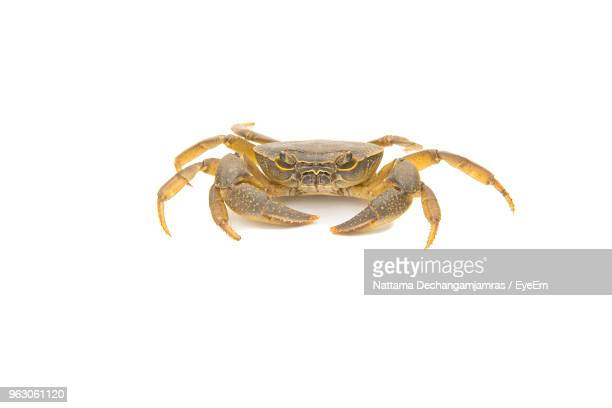 close-up of crab against white background - crab stock photos and pictures