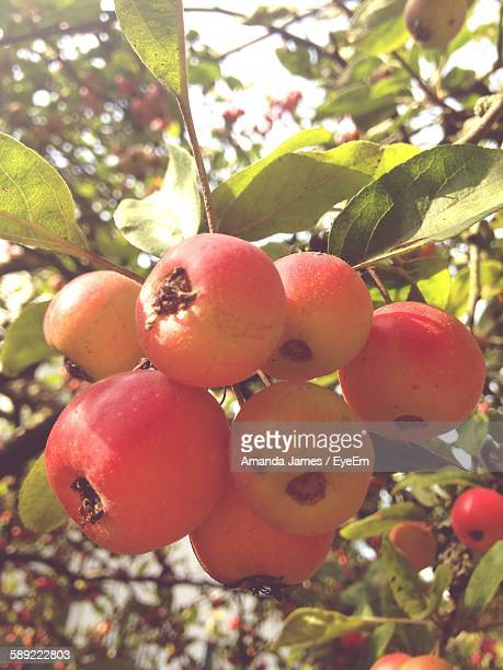 Close-Up Of Crab Apples Growing On Tree