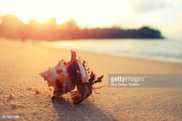 close-up of crab on sand at beach against sky during sunset - hermit crab stock pictures, royalty-free photos & images