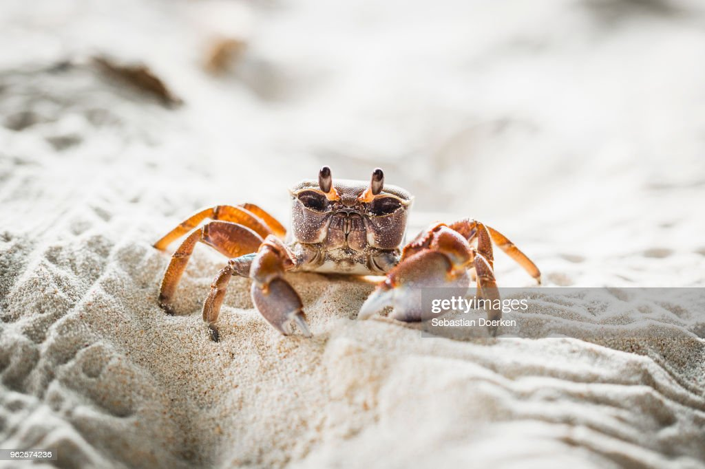 Close-up of crab on sand at beach, Island of La Digue, Seychelles : Stock Photo