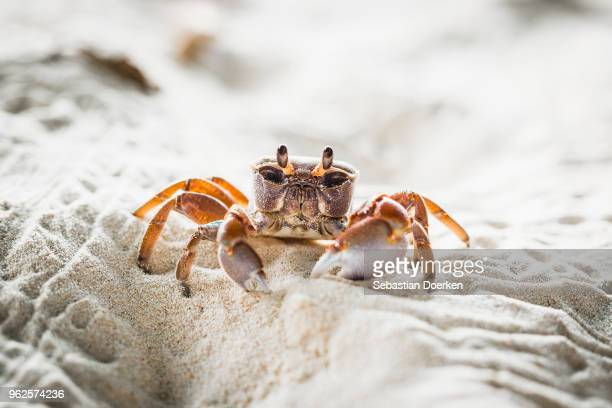 close-up of crab on sand at beach, island of la digue, seychelles - crab stock pictures, royalty-free photos & images