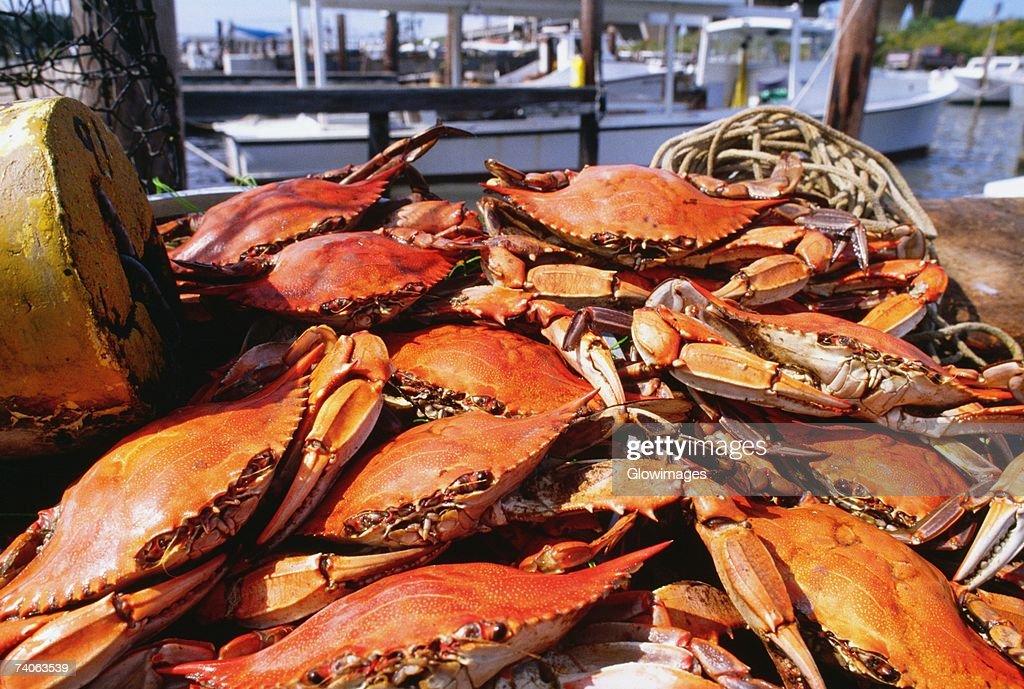 Close-up of crabs, Annapolis, Maryland, USA : Stock Photo