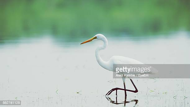 close-up of crane in lake - crane bird stock photos and pictures